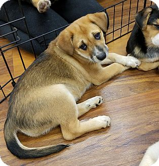 Cattle Dog Mix Puppy for adoption in Milford, New Jersey - Dancer