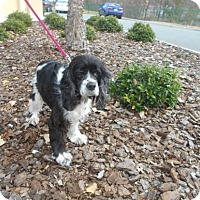 Adopt A Pet :: Scarlett -Adopted! - Kannapolis, NC