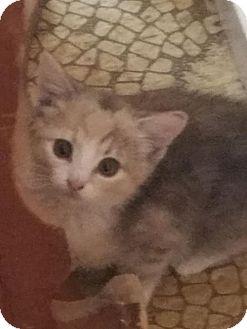 Domestic Shorthair Kitten for adoption in Harrisonburg, Virginia - Kokomo