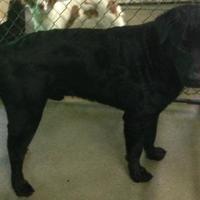Adopt A Pet :: Caliber - Dublin, GA