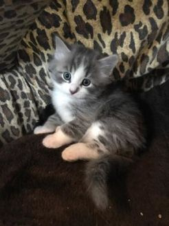 Domestic Mediumhair/Domestic Shorthair Mix Cat for adoption in Athabasca, Alberta - Jamie Oliver