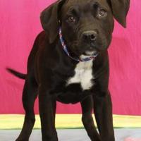 Adopt A Pet :: Wiggles - Bristol, IN