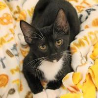 Adopt A Pet :: Popeye - Encinitas, CA