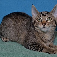 Adopt A Pet :: Purrfessor Mconagall - Lenexa, KS