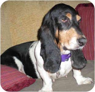 Basset Hound Dog for adoption in Phoenix, Arizona - Zoe