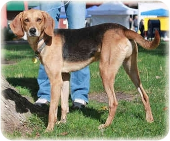 Coonhound Mix Dog for adoption in Howell, Michigan - Ducky
