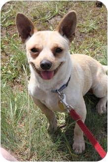 Chihuahua/Corgi Mix Dog for adoption in Saanichton, British Columbia - Honey