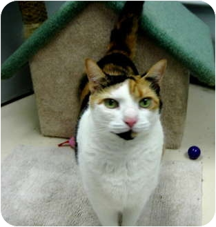 Calico Cat for adoption in Deerfield Beach, Florida - The Brits