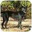 Photo 1 - Labrador Retriever/Shepherd (Unknown Type) Mix Dog for adoption in Norwich, Connecticut - PRISCILLA