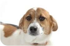 Corgi Mix Dog for adoption in Plainfield, Illinois - Chance