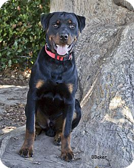 Rottweiler Mix Puppy for adoption in Santa Barbara, California - Blacky
