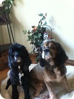 Cocker Spaniel Mix Dog for adoption in Bellingham, Washington - Copper & Jet