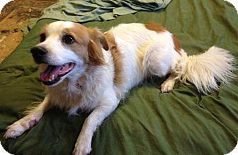 Spaniel (Unknown Type) Mix Dog for adoption in Phoenix, Arizona - Princess