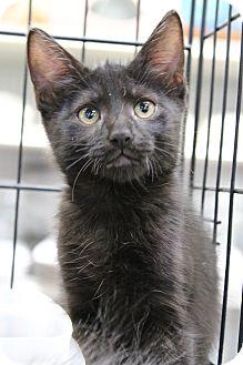 Domestic Shorthair Kitten for adoption in Santa Monica, California - Slate