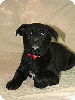 Shepherd (Unknown Type)/Retriever (Unknown Type) Mix Puppy for adoption in Westminster, Colorado - Alien
