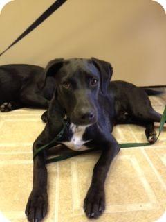 Labrador Retriever/Pointer Mix Dog for adoption in Morris, Illinois - SLIM