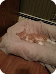 Domestic Shorthair Kitten for adoption in Madison, Wisconsin - Poseidon