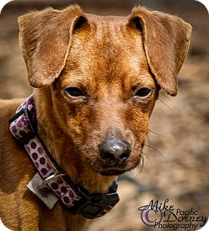 Miniature Pinscher Mix Dog for adoption in Westminster, California - Heathcliff