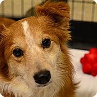 Adopt A Pet :: Shorty - Rockaway, NJ