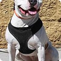 Adopt A Pet :: Bo - Gilbert, AZ