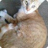 Adopt A Pet :: Marmelade - Modesto, CA