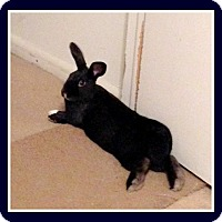 Adopt A Pet :: Midnight - Williston, FL