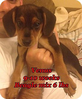 Beagle Mix Puppy for adoption in Spring Valley, New York - Venus