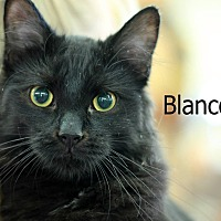 Domestic Mediumhair Cat for adoption in Wichita Falls, Texas - Blanco