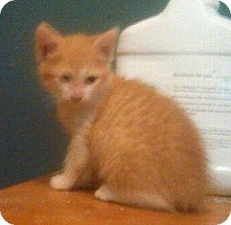 British Shorthair Kitten for adoption in Miami, Florida - Boots