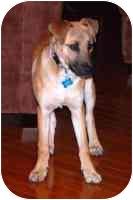 German Shepherd Dog/Belgian Shepherd Mix Puppy for adoption in Sacramento, California - Yuna