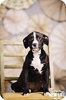 Labrador Retriever/Border Collie Mix Puppy for adoption in Portland, Oregon - Sweet Potato