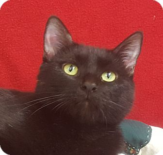 Domestic Shorthair Cat for adoption in Dundee, Michigan - Morticia - Adoption Pending