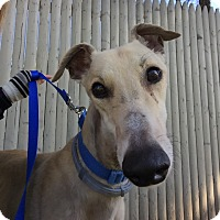 Adopt A Pet :: Nutmeg - Swanzey, NH