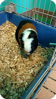 Guinea Pig for adoption in Brookings, South Dakota - Patches
