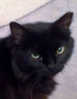 Domestic Longhair Cat for adoption in Mt. Vernon, New York - Cocoa