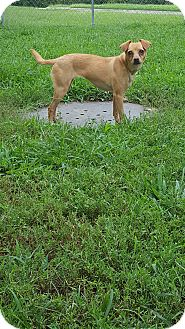 Miniature Pinscher/Chihuahua Mix Dog for adoption in Fort Riley, Kansas - Bella