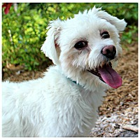 Adopt A Pet :: Braxton - Forked River, NJ