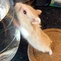 Adopt A Pet :: Rolo - St. Paul, MN