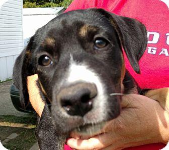 German Shepherd Dog/Labrador Retriever Mix Puppy for adoption in Houston, Texas - Princess Kinsley