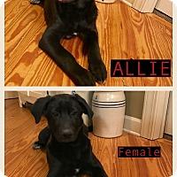 Adopt A Pet :: Allie 2 - pending adoption - East Hartford, CT