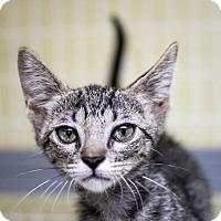 Adopt A Pet :: Nala - St. Petersburg, FL