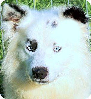 Australian Shepherd/Border Collie Mix Dog for adoption in Wakefield, Rhode Island - LANCE & MINNIE(PLS READ-SO SAD