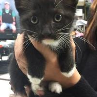 Domestic Shorthair/Domestic Shorthair Mix Cat for adoption in Clarkesville, Georgia - Ford