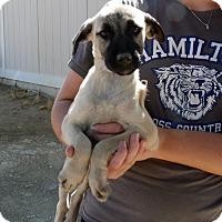 Adopt A Pet :: PINE TREE PUPS C - Corona, CA
