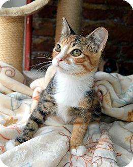 Domestic Shorthair Kitten for adoption in Richmond, Virginia - Suzie
