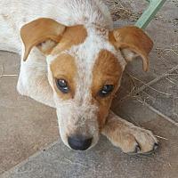 Blue Heeler Mix Puppy for adoption in Springfield, Missouri - Sunset