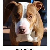 Adopt A Pet :: Flloyd - Manassas, VA