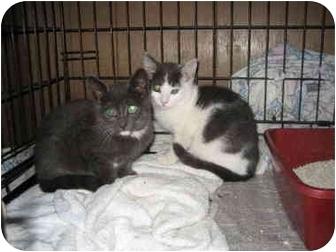Domestic Mediumhair Kitten for adoption in valhalla, New York - Socializing needed