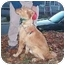 Photo 3 - Golden Retriever Puppy for adoption in Naugatuck, Connecticut - Barney