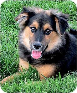 Australian Shepherd/German Shepherd Dog Mix Puppy for adoption in Sacramento, California - Thor fun, active, happy
